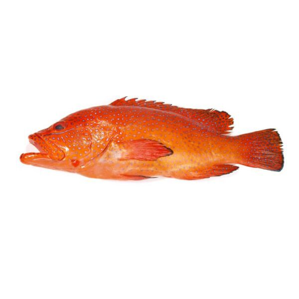 Frischer-Fisch-Online-Zackenbarsch